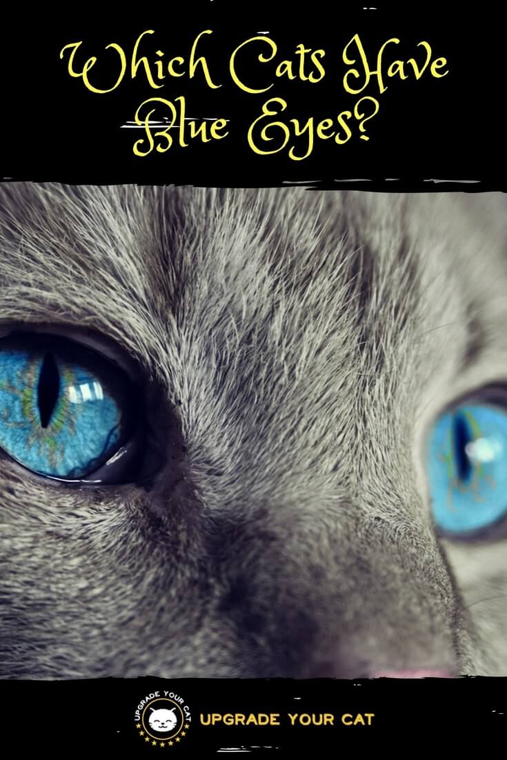 Which Cats Have Blue Eyes