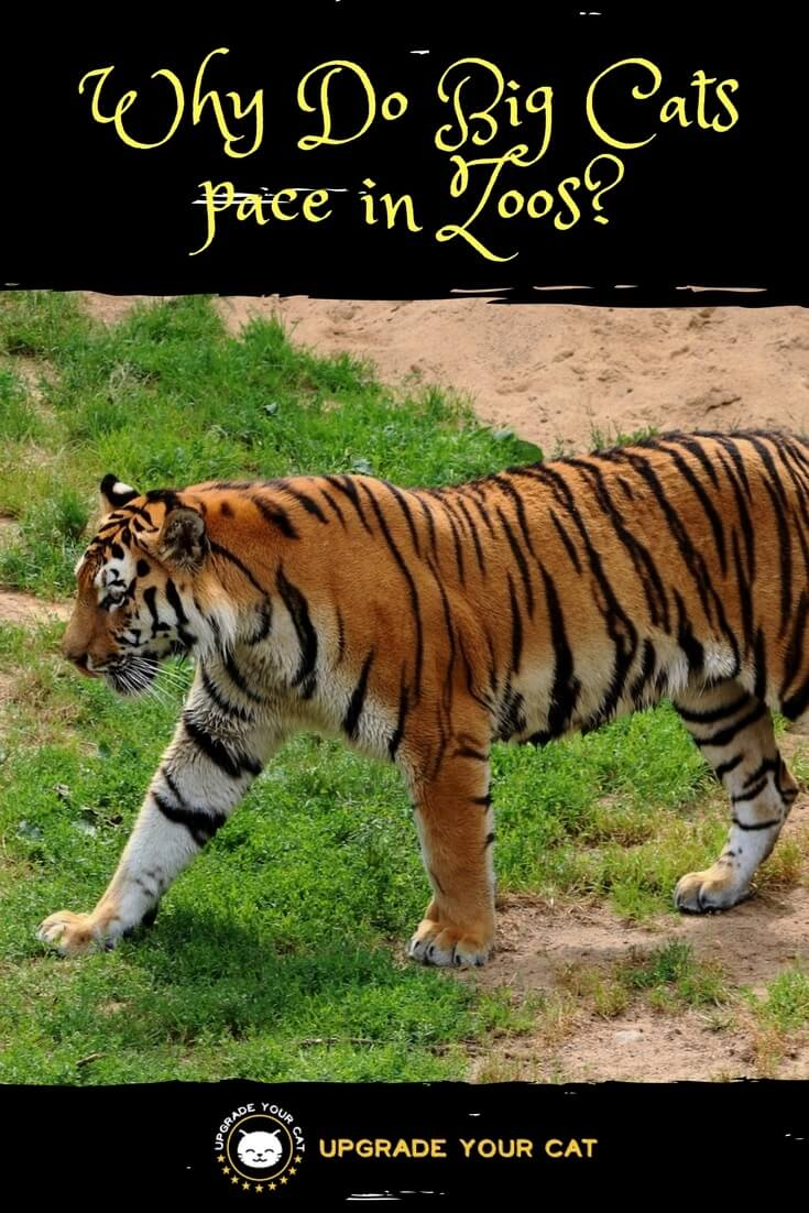 Why Do Big Cats pace in Zoos