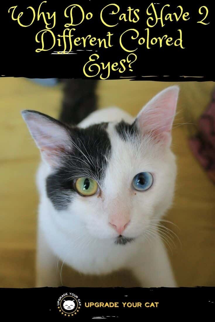 Why Do Cats Have 2 Different Colored Eyes