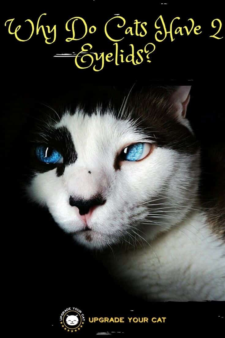 Why Do Cats Have 2 Eyelids
