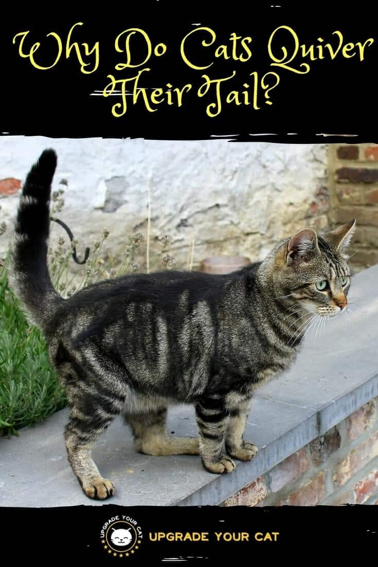 Why Do Cats Quiver Their Tail