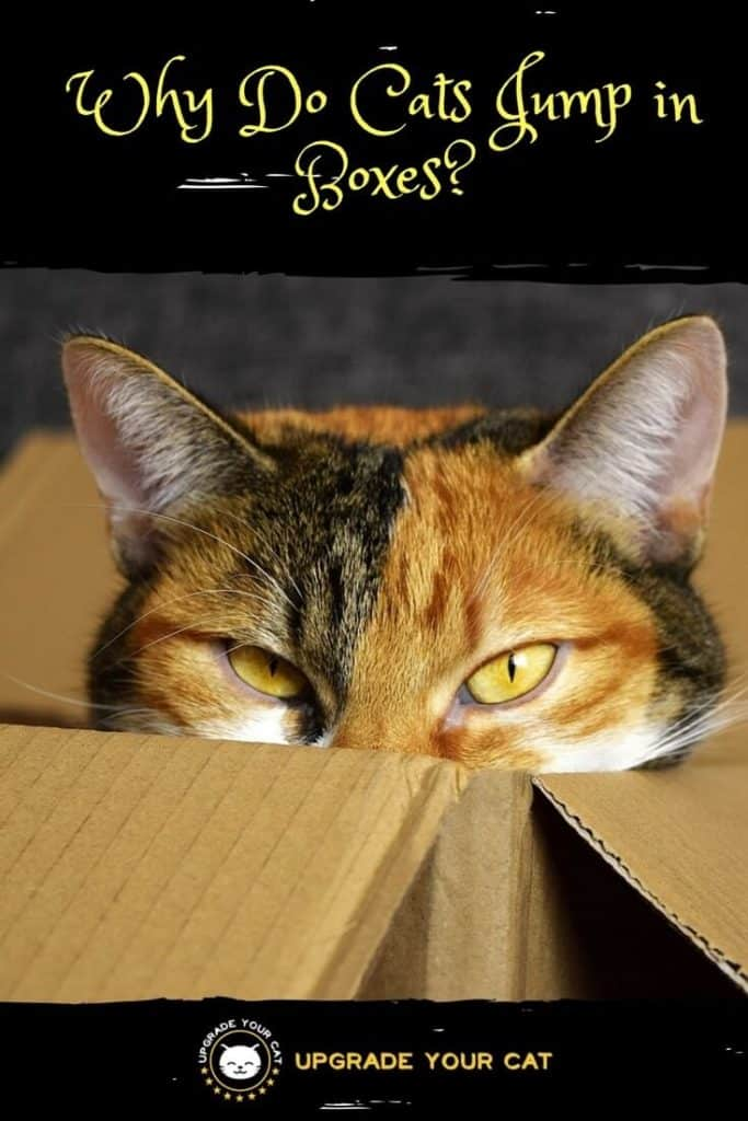 Why Do Cats Jump in Boxes