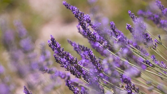 Scents cats dislike and hate lavender