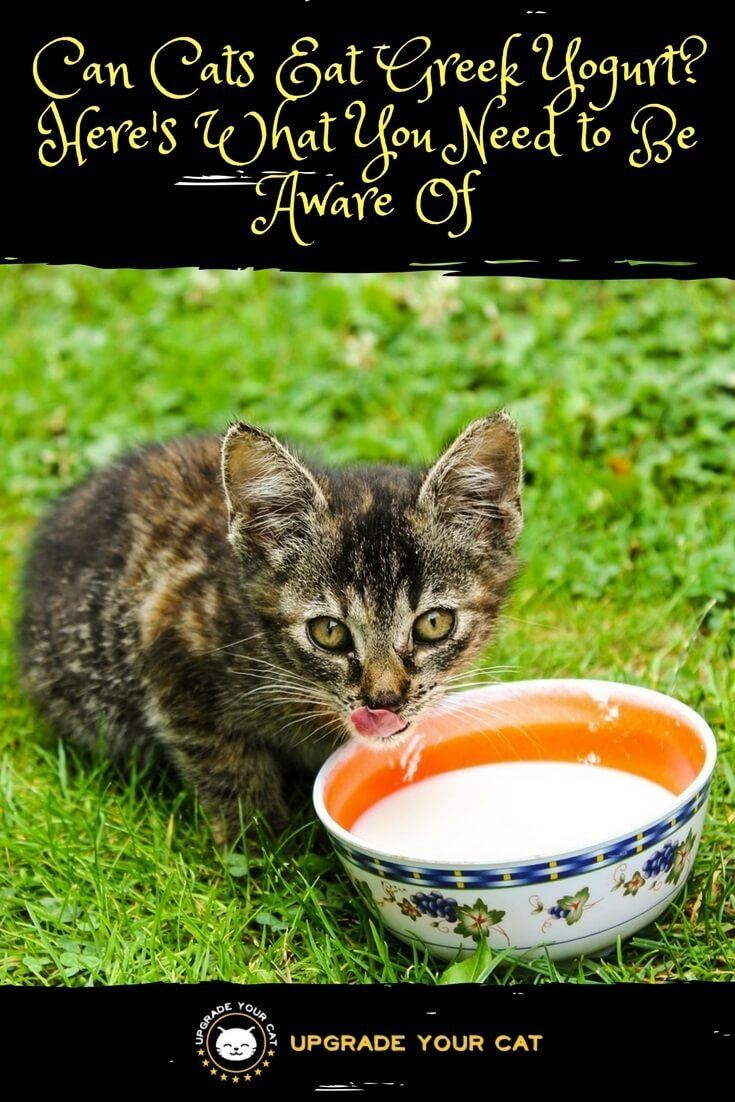 Can Cats Eat Greek Yogurt The Surprising Truth About Cats And