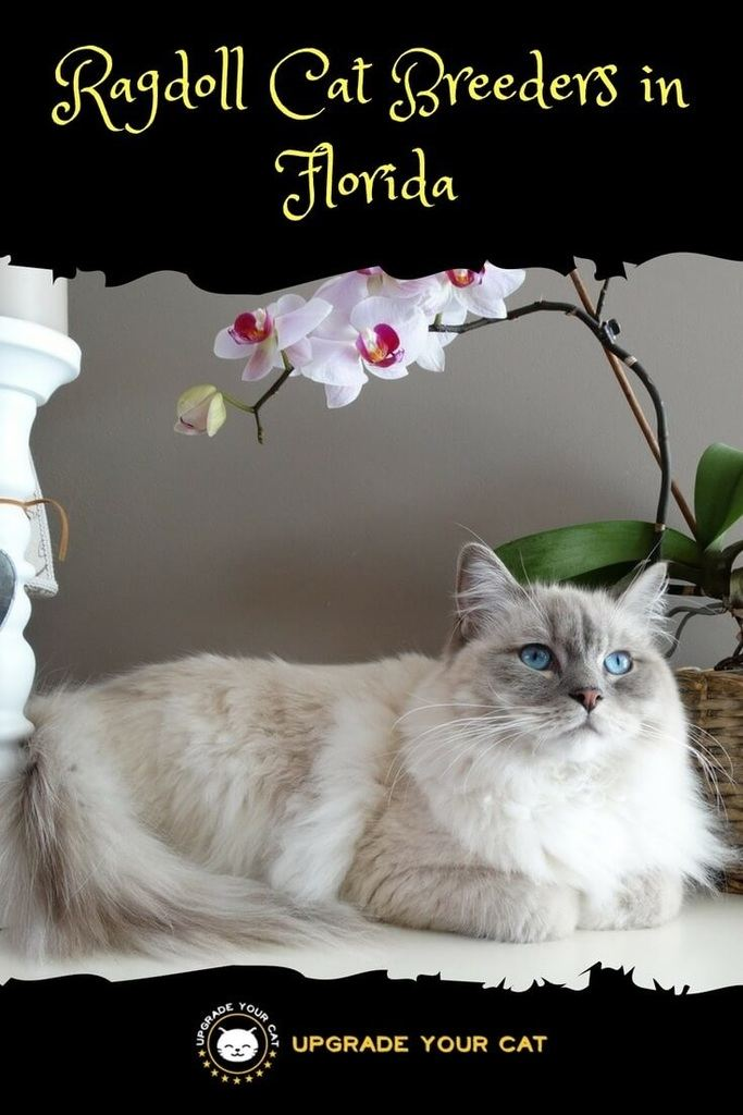 Ragdoll Cat Breeders in Florida