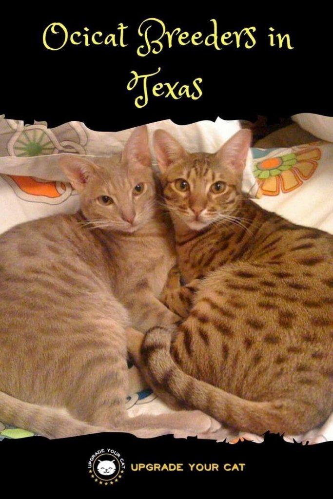 Ocicat Breeders in Texas
