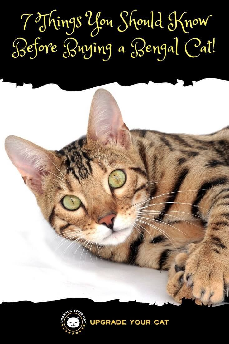 7 Things You Should Know Before Buying a Bengal Cat