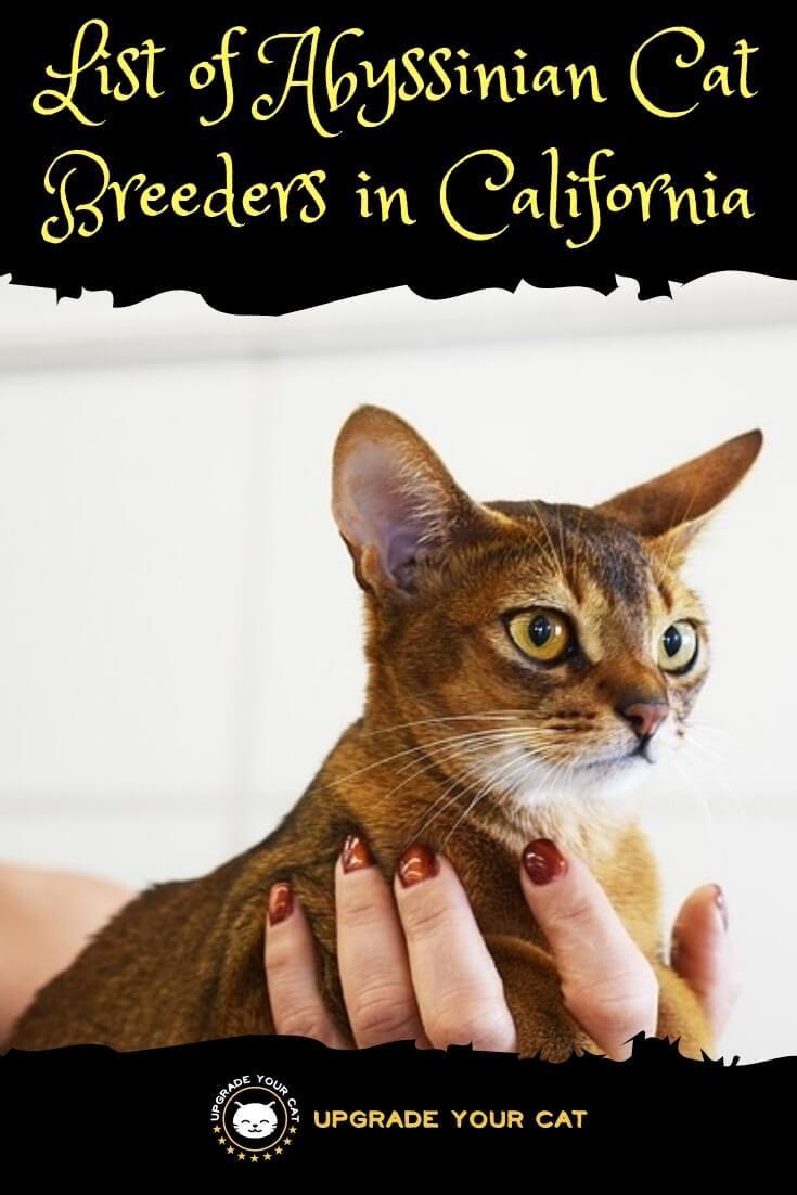 Abyssinian Cat Breeders in California - Upgrade Your Cat