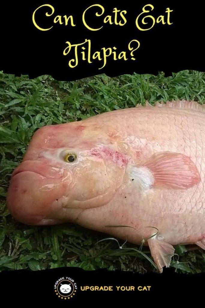 Can Cats Eat Tilapia