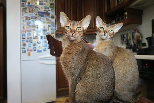 How Much Do Abyssinian Cats and Kittens Cost
