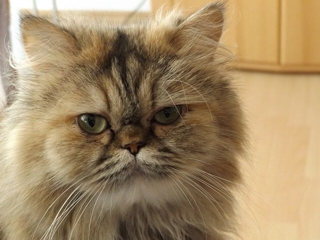 How Much Do Persian Cats Cost