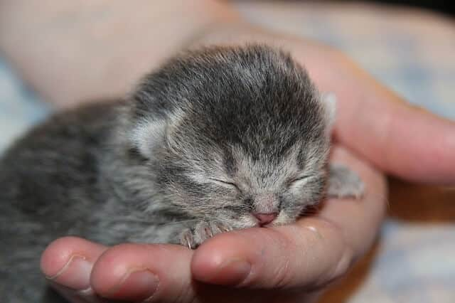 How Much Does a Munchkin Cat or Kitten Cost