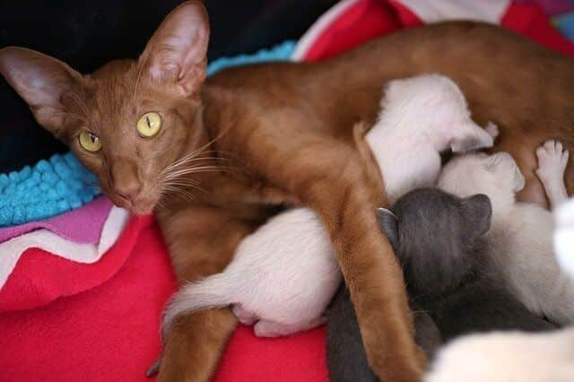 How to Tell If Your Cat Is Pregnant 5 Physical & Emotional Signs