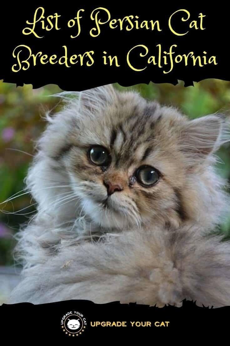 Persian Cat Breeders in California