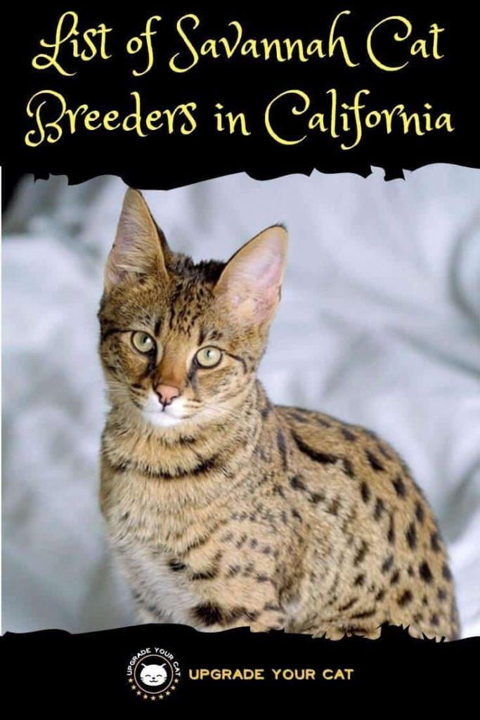 Savannah Cat Breeders in California
