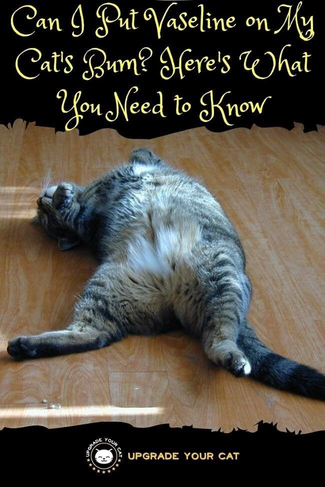 Can I Put Vaseline On My Cat Bum