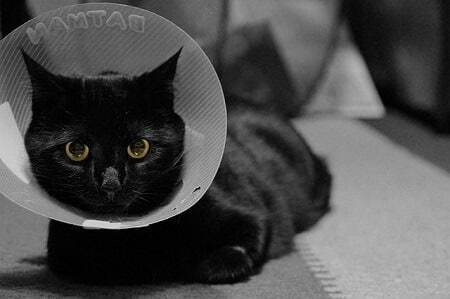 Other Reasons for a Cat Spay Incision Lump