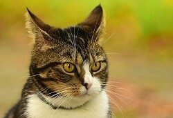 Cat Senses Highly Tuned Hearing