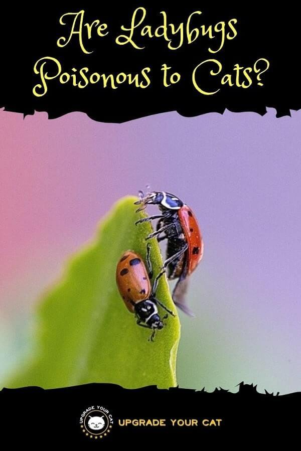 Are Ladybugs Poisonous to Cats