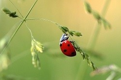 Are Red Ladybugs Poisonous to Cats