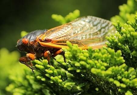 Can Cicadas Hurt Cats
