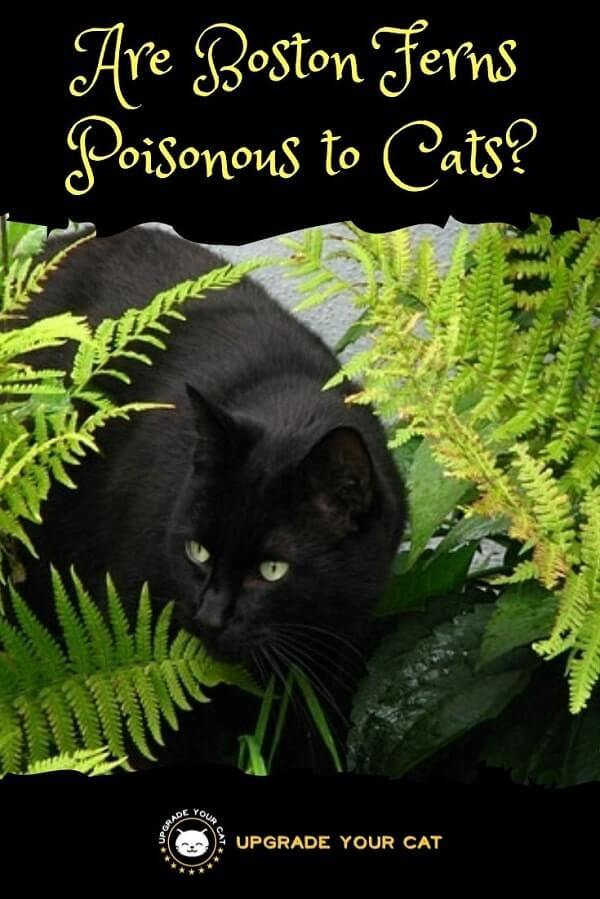 Are Boston Ferns Poisonous to Cats