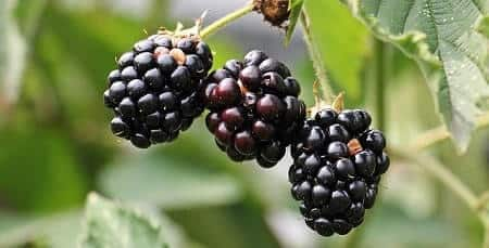 Are Blackberries Good for Cats