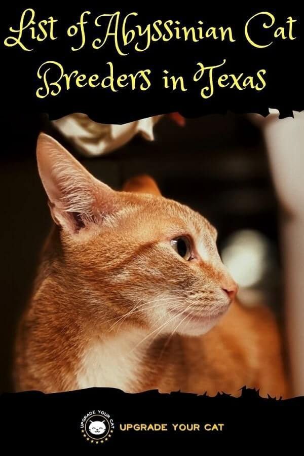 Abyssinian Cat Breeders in Texas Find Kittens for Sale