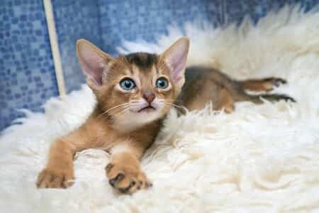 Are Abyssinian Cats Good Pets