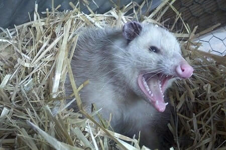 Are Possums Dangerous to Cats
