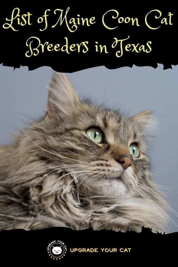 Maine Coon Cat Breeders in Texas