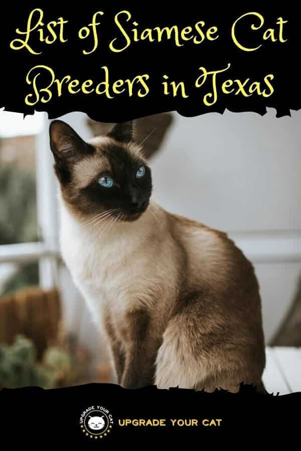 Siamese Cat Breeders in Texas Find Kittens for Sale