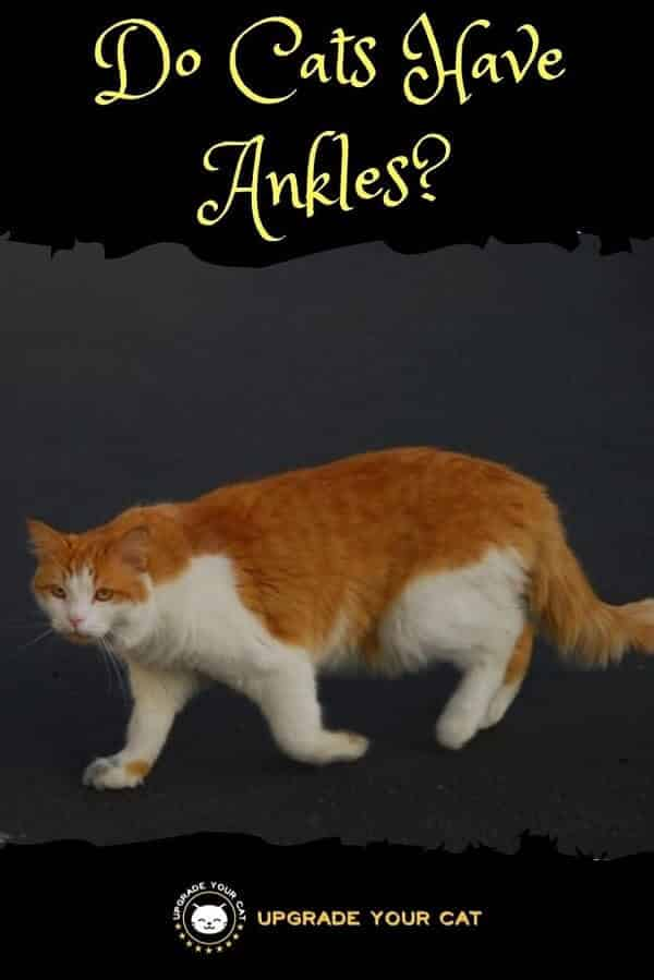 Do Cats Have Ankles