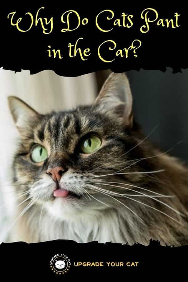 Why Do Cats Pant in the Car