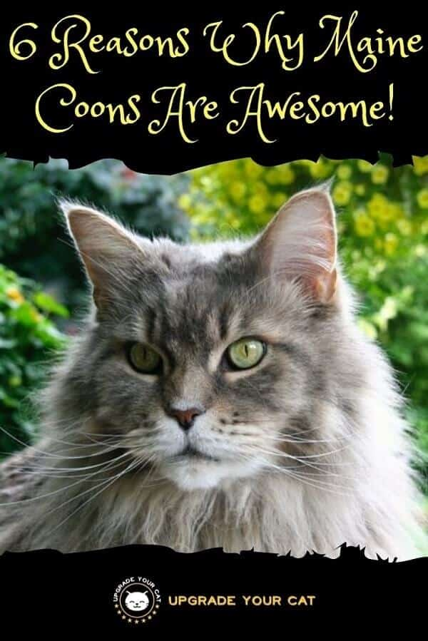 Reasons Why Maine Coons Are Awesome