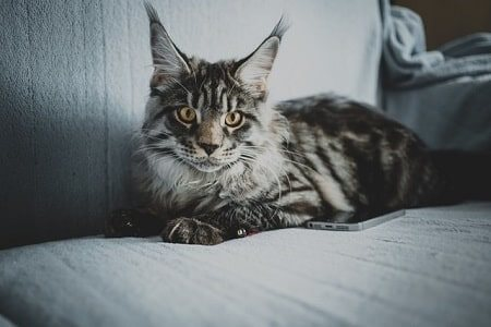 Why are Maine Coon cats good pets