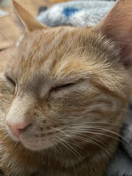 Are Tabby Cats Noisey - Do They Meow a Lot