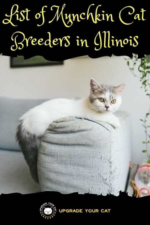 Munchkin Cat Breeders in Illinois