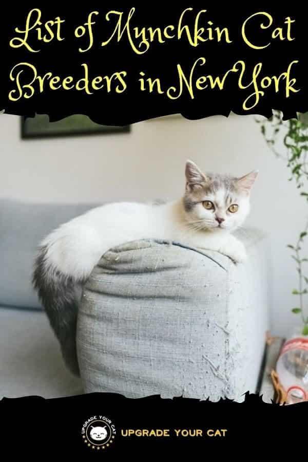 Munchkin Cat Breeders in New York
