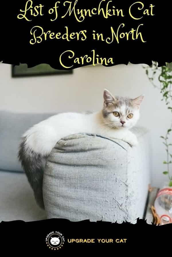 Munchkin Cat Breeders in North Carolina