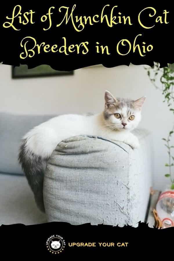 Munchkin Cat Breeders in Ohio