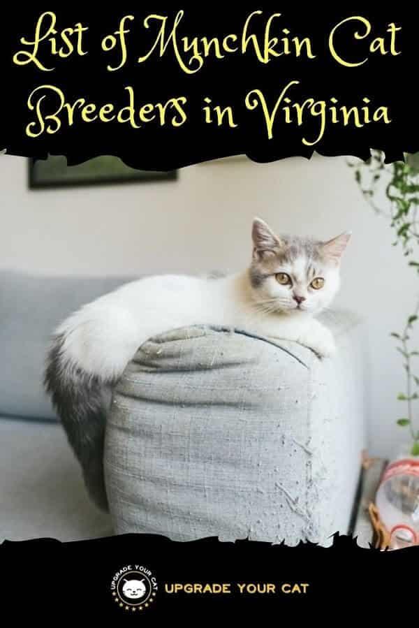 Munchkin Cat Breeders in Virginia