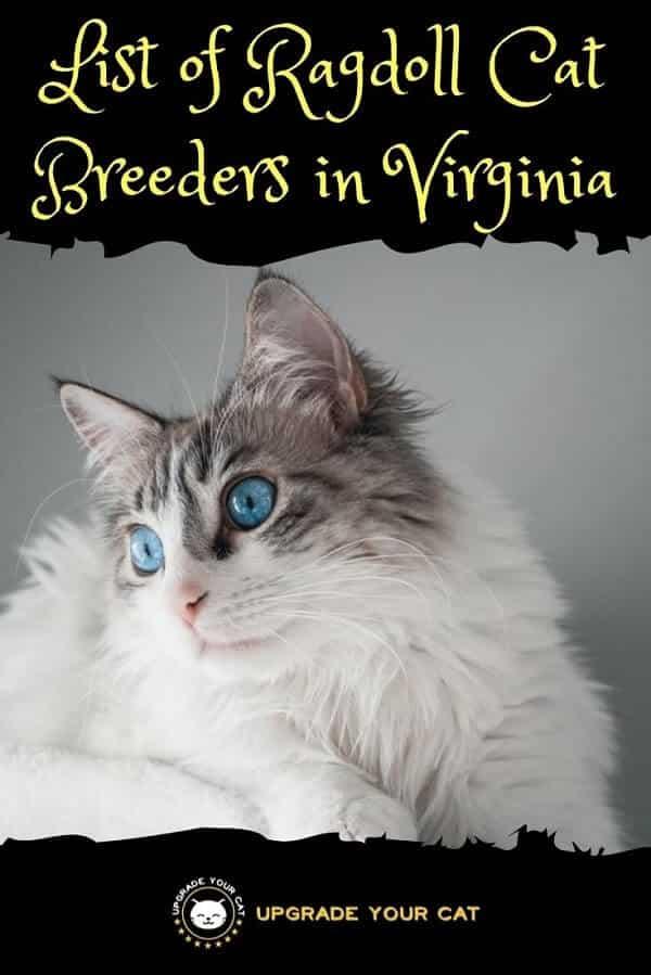 Ragdoll Cat Breeders in Virginia