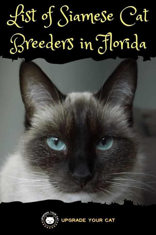Siamese Cat Breeders in Florida