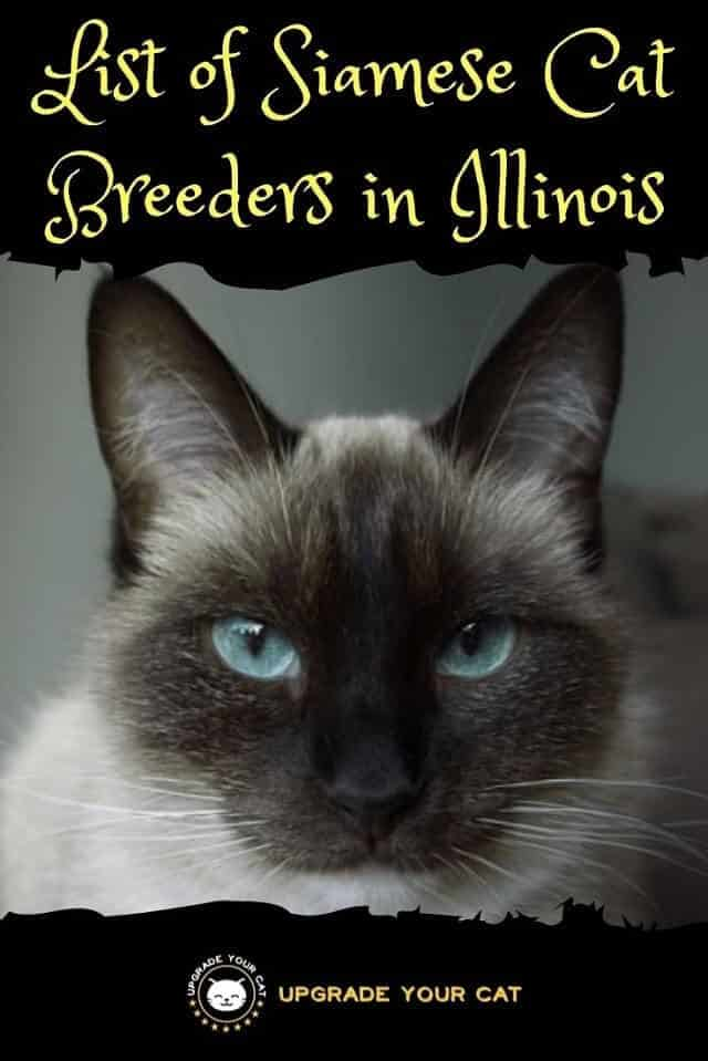 Siamese Cat Breeders in Illinois