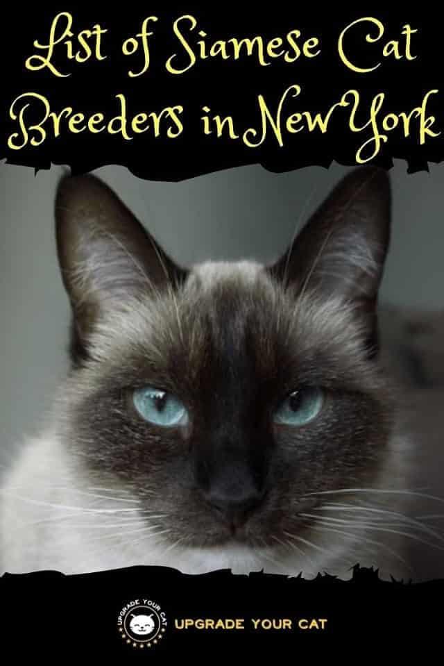Siamese Cat Breeders in New York