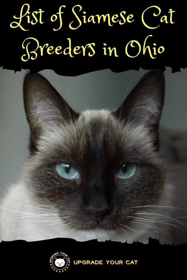 Siamese Cat Breeders in Ohio