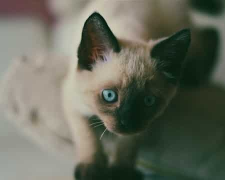 What Is the Average Price of a Siamese Cat