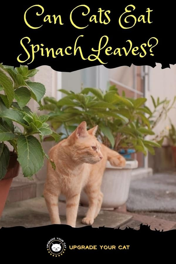 Can Cats Eat Spinach Leaves