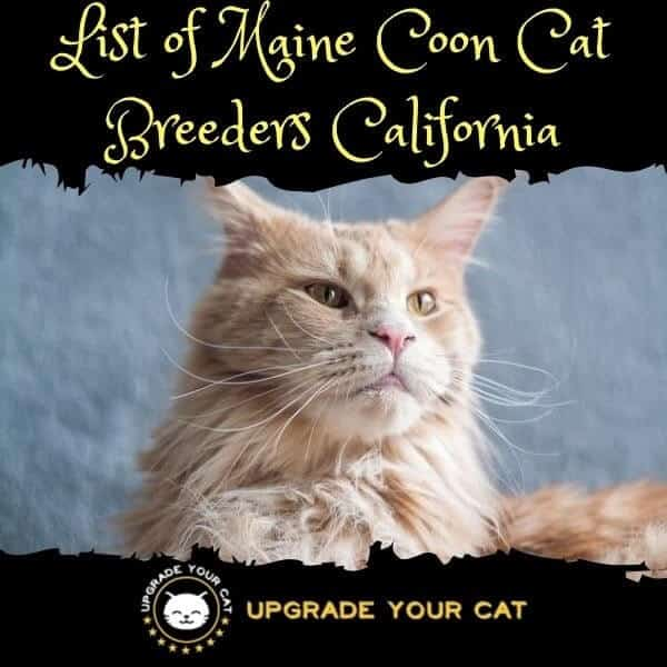 Maine Coon Cat Breeders California